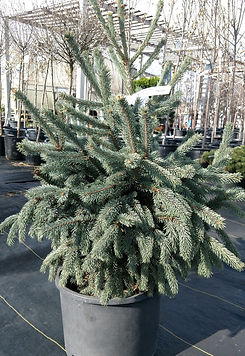 pauls select spruce- nursery.jpg