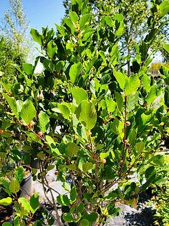 buckthorn - tallhedge2 (nursery).jpg