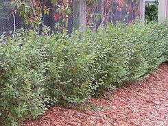 Cotoneaster Hedge Nursery.jpg
