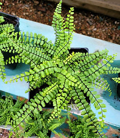 fern - maidenhair - nursery.jpg