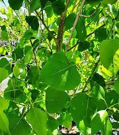 poplar - jeronimus plains - leaf (nurser