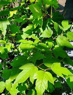 viburnum - onondaga - nursery.jpg