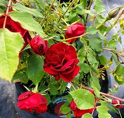 rose - hope for humanity (nursery).jpg