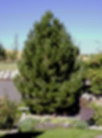 Pine Austrian (2).jpg