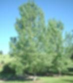 Poplar Dakota.jpg