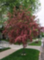 Hawthorn Crimson Cloud 100_edited.jpg