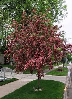 Hawthorn Crimson Cloud 100_edited.jpg