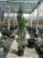 blue arrow juniper - nursery.jpg