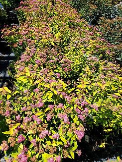 spirea - goldflame - nursery.jpg
