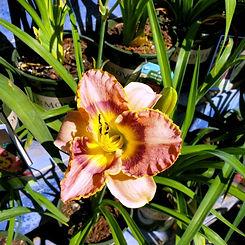 daylily - radiant skye - nursery.jpg