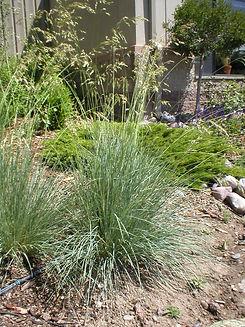 Grass Blue Oat.JPG
