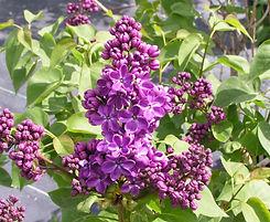 Lilac%20Yankee%20Doodle_edited.jpg