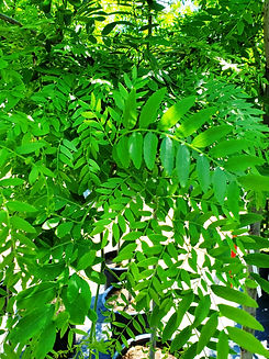 honeylocust - prairie silk - leaf (nurse