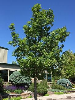 Oak Bur 2_edited.jpg