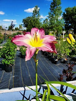 daylily - swirling water - nursery.jpg