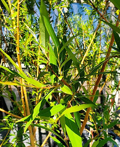 willow - golden - leaf stem (nursery).jp