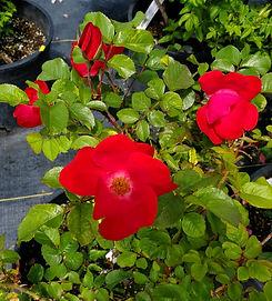 rose - robusta (nursery).jpg