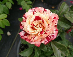 tropical lightening rose.jpg