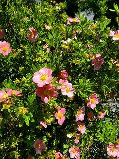 potentilla - pink beauty- nursery.jpg