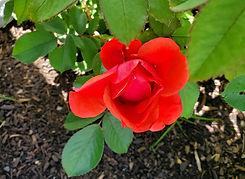 rose - morden fireglow (nursery).jpg