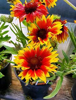 gaillardia- arizona sun - nursery.jpg