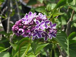 Lilac Sensation (2).jpg