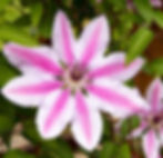 Clematis Nelly Moser.jpg