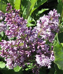 Lilac Donald Wyman flower.jpg