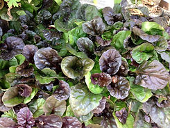 Ajuga Black Scallop.jpg