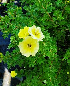 potentilla - lemon meringue - nursery.jp