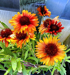 gaillardia - arizona sun shades - nurser