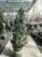 moonglow juniper - nursery.jpg