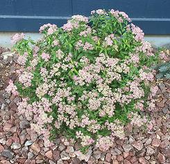 Spirea Flowering Choice 1.jpg