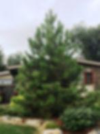 Pine Ponderosa 1.jpg