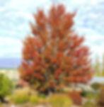 Maple Autumn Blaze.jpg