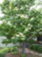 Lilac Japanese Tree2.JPG
