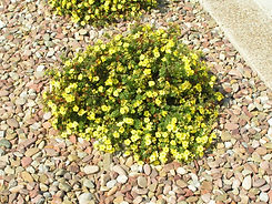 potentilla yellow_gem40.jpg