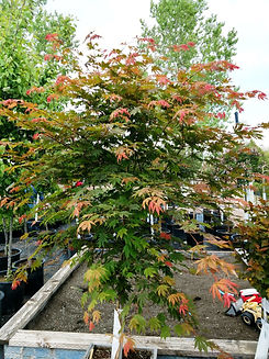 Maple - north winds (nursery).jpg