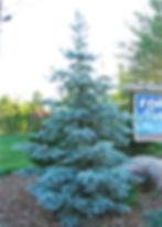 Spruce Hoopsi (2).jpg