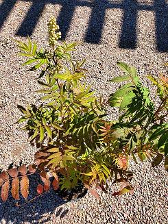 spirea - sem ash leaf - nursery.jpg