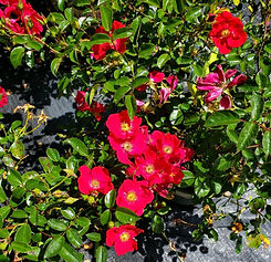 rose - flower carpet red (nursery).jpg