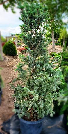 Spruce-bluetotem(nursery)blurred.jpg
