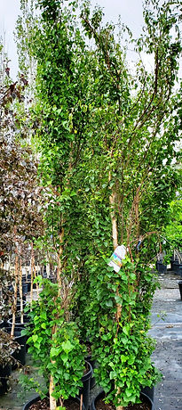 birch - parkland pillar (nursery).jpg