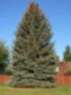 Spruce Colorado 1.jpg