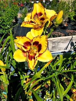 daylily - blazing skye - nursery.jpg