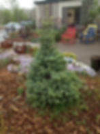 Spruce SesterDwarf (2).jpg