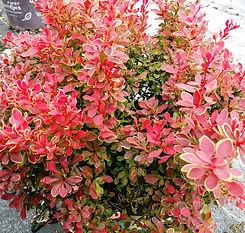 golden ruby barberry.jpg