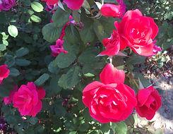 Rose%20Winnipeg%20Parks_edited.jpg