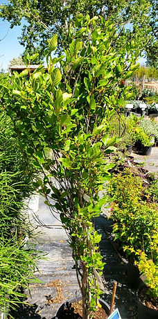 buckthorn - tallhedge (nursery).jpg