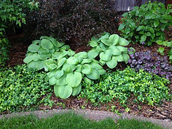 Hosta Sum and Substance.jpg